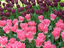 Tulips or Teacups?