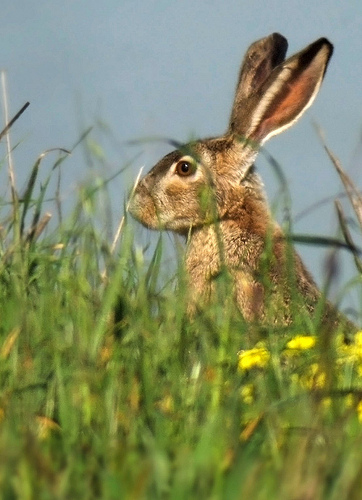 jackrabbits are hares