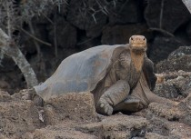 Lonesome George rare tortoise extinct