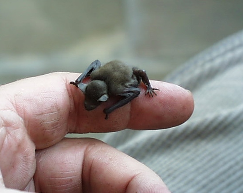 Bat as tiny as Bumblebee, Photocredit:koshersamurai