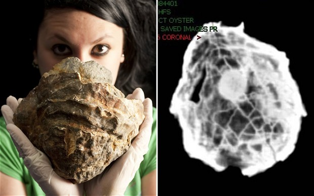 Oyster Fossil having Golf Ball Size Pearl Discovered, Photocredit: Telegraph UK