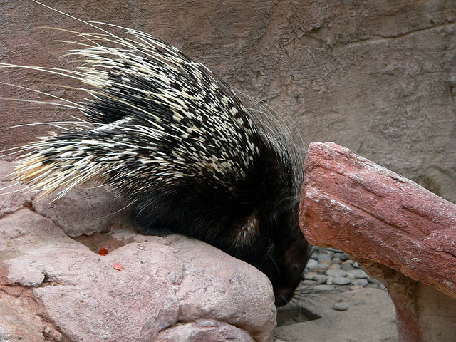 do porcupines hibernate