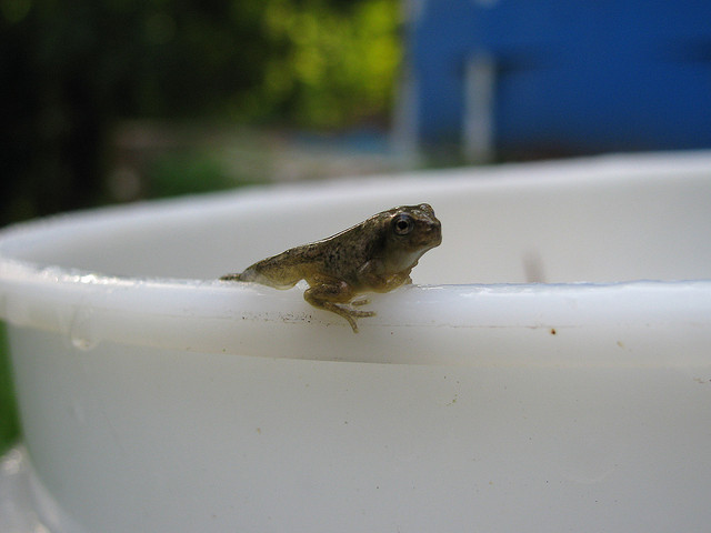A new frog that just emerged from tadpole