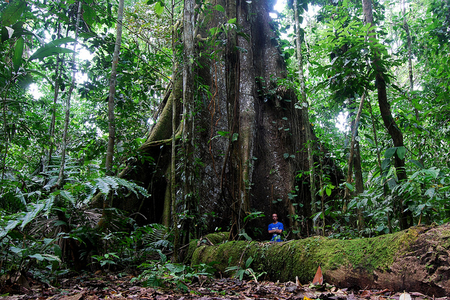 The Kapok tree in amazon around 180 feet tall