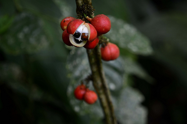 Guarana fruit of amazon