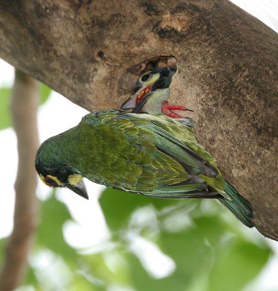 Coppersmith Barbet feeding the young one