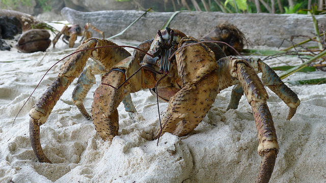 coconut-crab