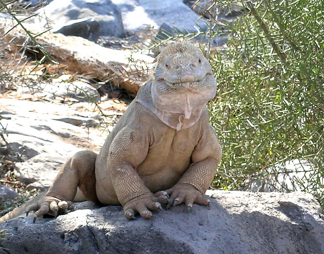 galapagos-iguana, lizards that look like dragons