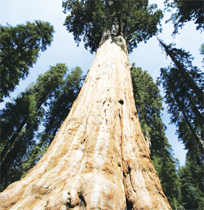 Giant redwood Hyperion is 70 ft taller than statue of liberty!