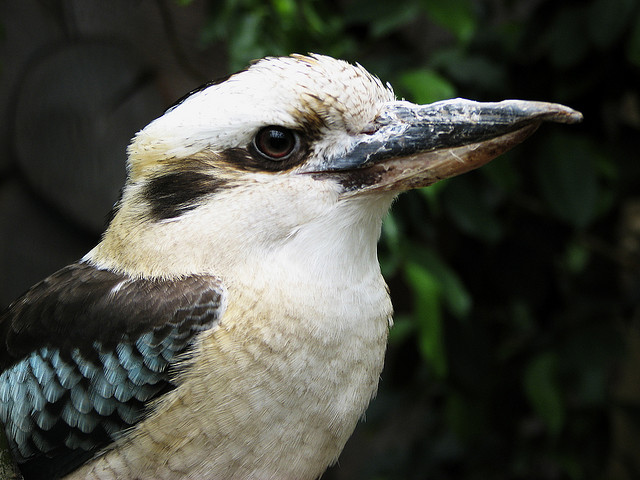 Interesting facts about Kookaburra