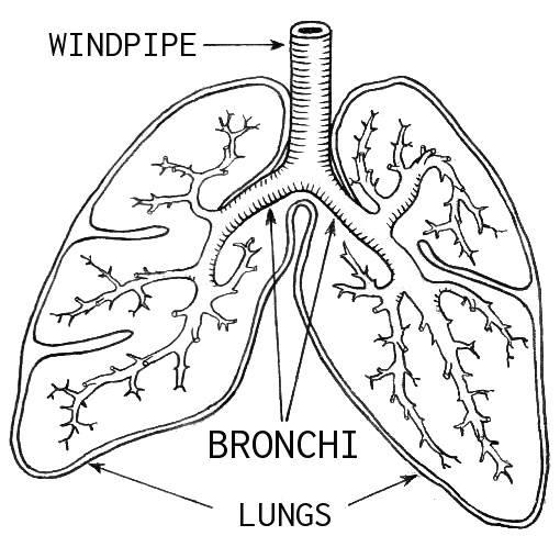 how do our lungs function