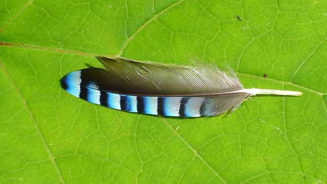 Vaned feather of a jaybird