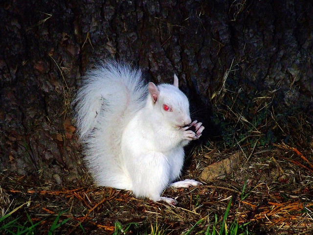 Albino squirrel or white squirrels
