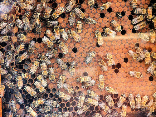 Bees at a bee hive