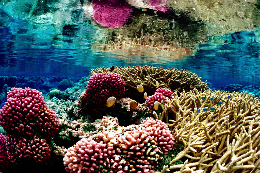Corals and coral reef