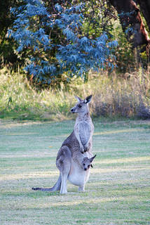 Kangaroo's joey in his pouch