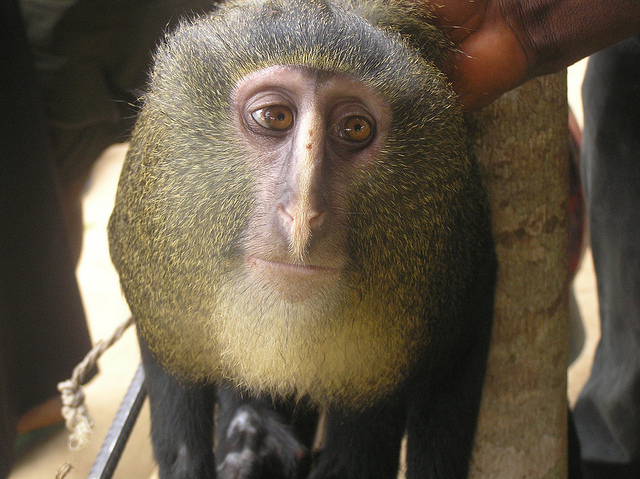 lesula new monkey discovered
