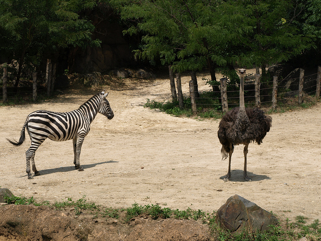 Ostrich and Zebra on a lookout for predators