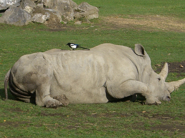 rhino and tickbird get together as the rhinos want to get rid of the ticks.