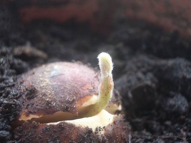 Seed germinating into a plant