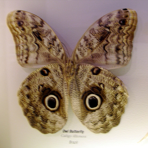 Owl faced butterfly