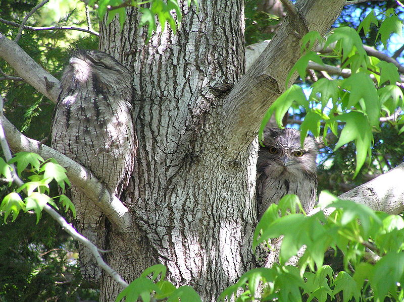 owl_Frogmouth_camouflage