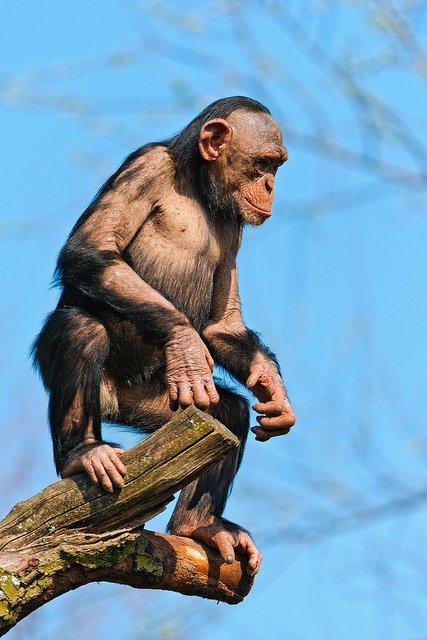 An Ape standing upright