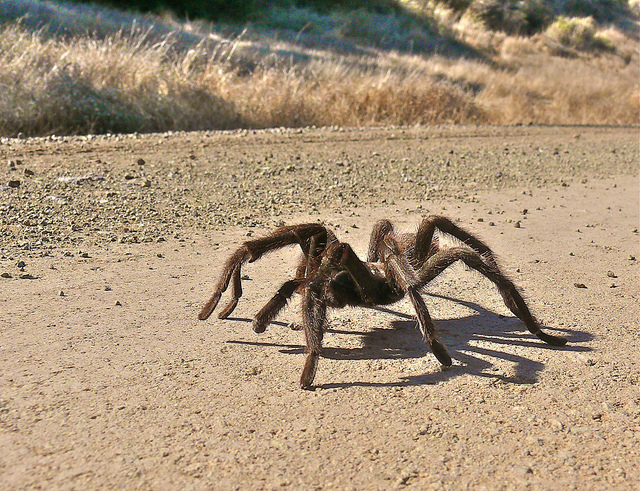 Largest Spider in the World