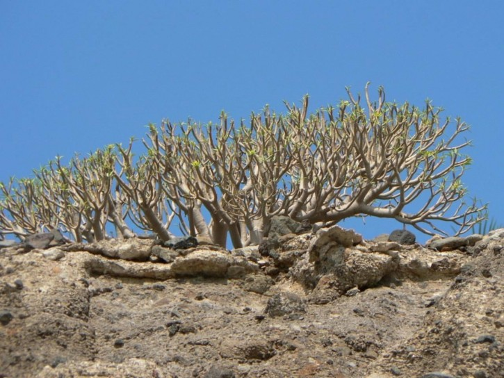 A desert rose tree in Socotra