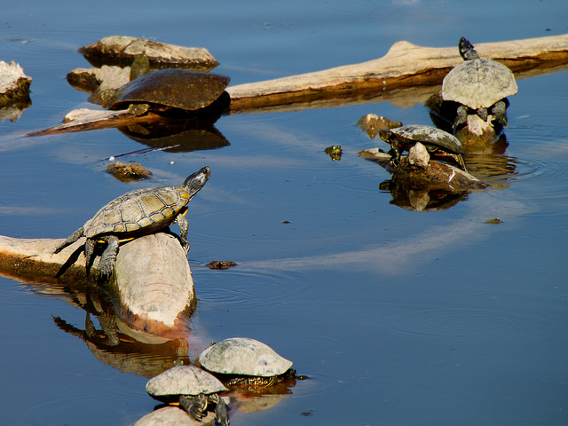 turtles in the lake