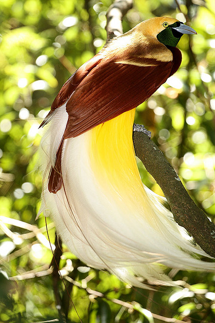 Birds of Paradise | Facts For Kids, Wild Life & Nature « Kinooze