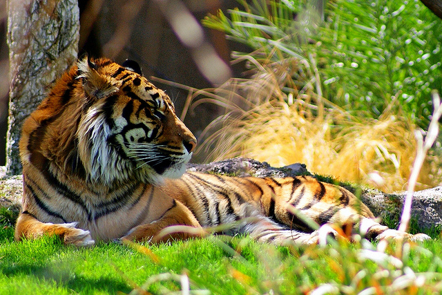 The Sumatran Tiger (Panthera tigris sumatrae) is one of only five subspecies of tiger left in the world.