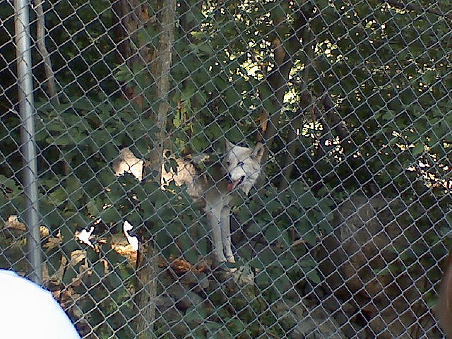 wolves inside the fence