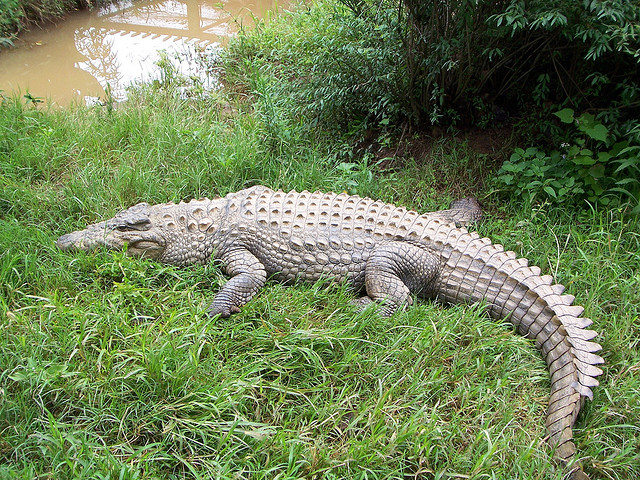 15,000 crocodiles escaped from a farm in South Africa