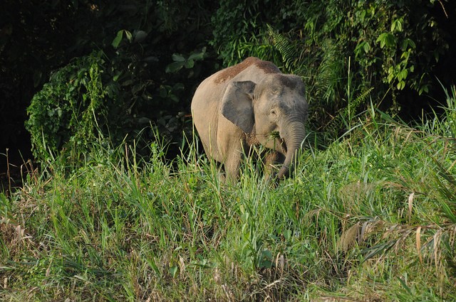 Endangered Pygmy Elephants Poisoned