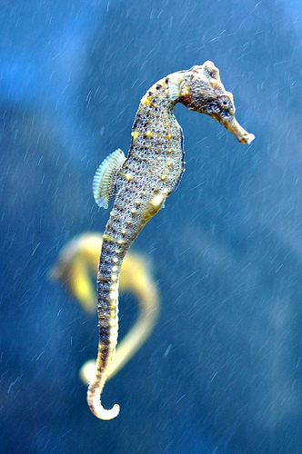 Seahorses swin in an upright position