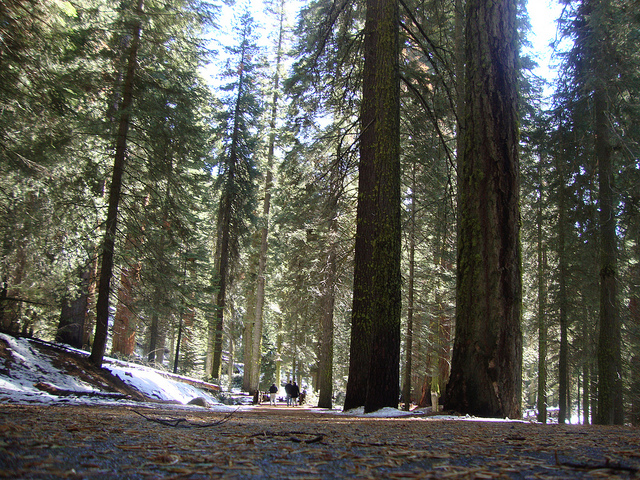 Sequoia National Park - Giant sequoia's all along the way
