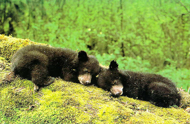 Bear cubs nuzzling