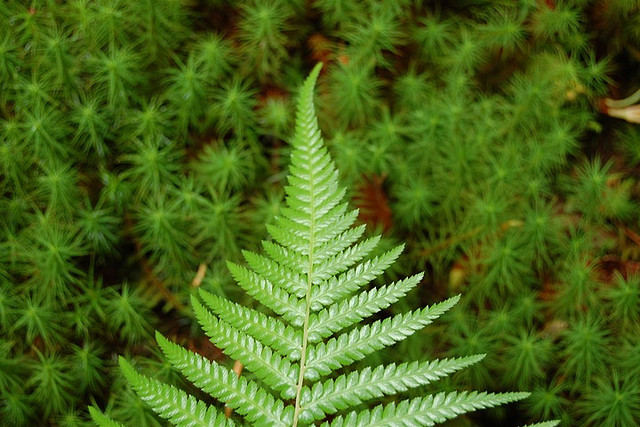 ferns conifers