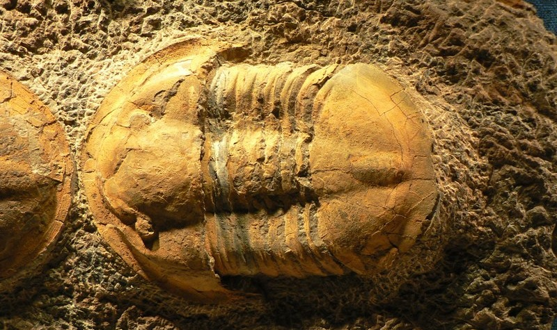 Fossil of an extinct arthropod - the trilobite