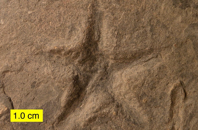 Sea star trace fossil