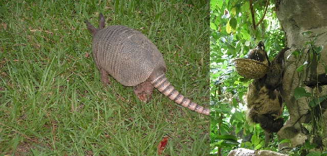 sloth and armadilo