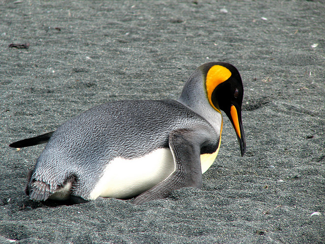 Emperor penguin of Macquarie island