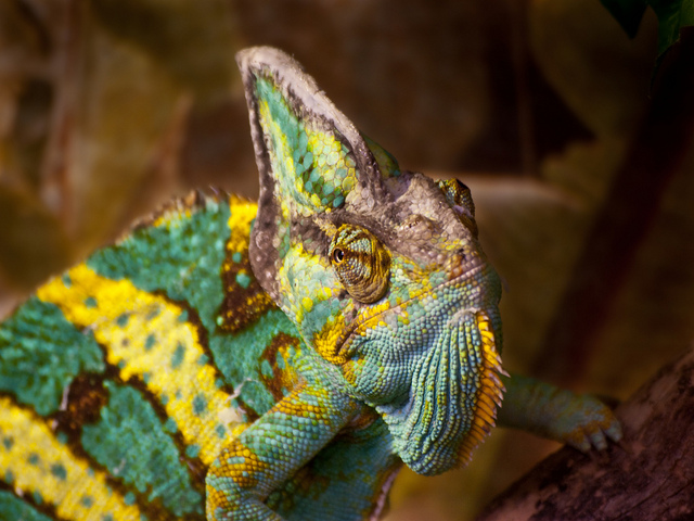 Chameleon with colors