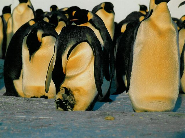 Emperor Penguin Feeding Chick