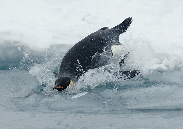 Emperor-penguins diving in the freezing cold water