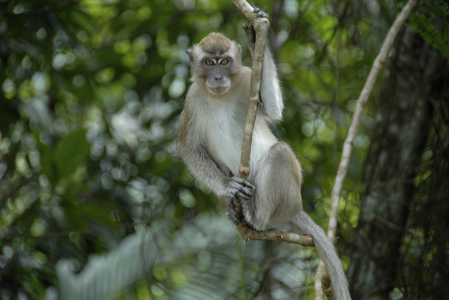 Long tail Macaque - Old world monkey