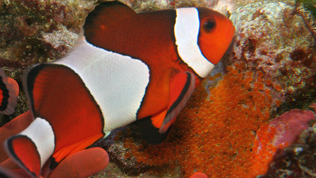 clown fish watching over eggs