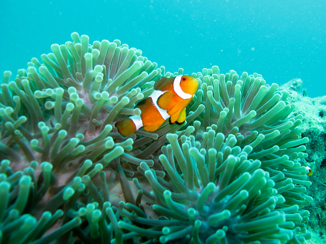 Finding clown fish facts for kids wild life nature for Clown fish habitat