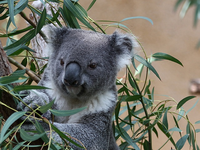 Koala on a eucalyptus tree